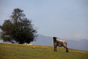 Región de O'Higgins busca promocionar el Cordero del Secano como uno de los mejores del país