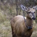 LATAM participa en exitosa reintroducción de huemules  en los bosques de Huilo Huilo