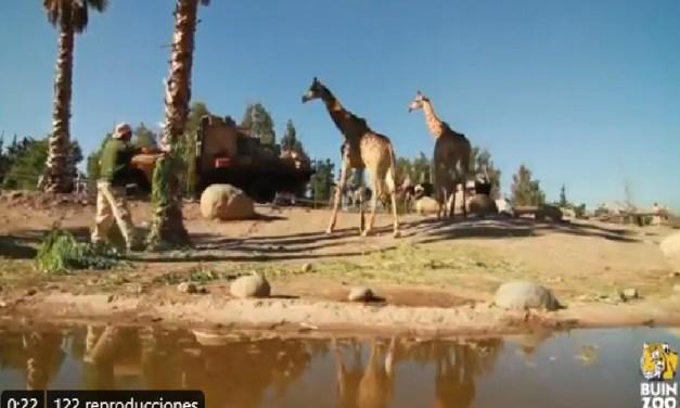 """Buin Zoo tendrá """"web serie"""" para mostrar el cuidado de los animales mientras dure la pandemia"""