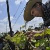 Miguel Torres Chile: 10 años de compromiso lo instalan como uno de los referentes del Comercio Justo en el mundo del vino