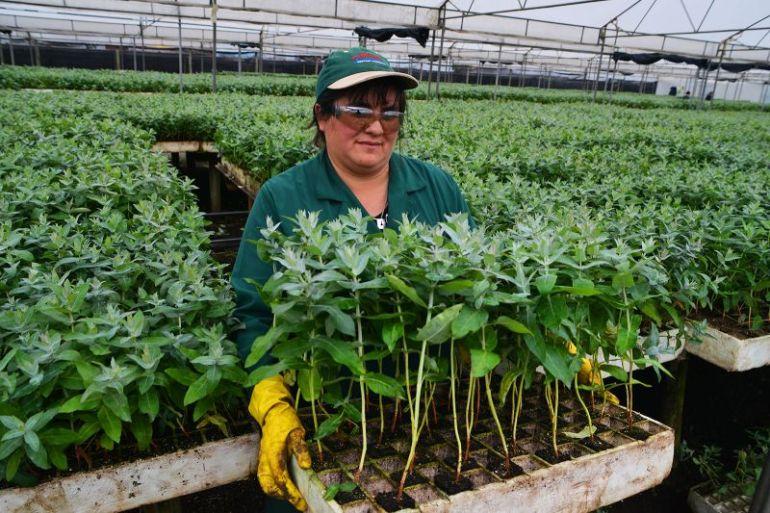 Corma dona 400 mil árboles a pequeños propietarios afectados por incendios