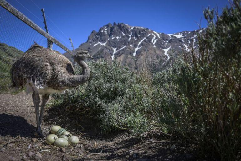 Comienza la temporada de nacimientos en el Centro de Reproducción del Ñandú de Parque Nacional Patagonia