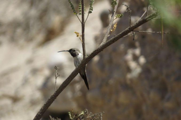 ¿Salvar al picaflor de Arica?: proyecto capacita a agricultores, comunidad escolar y sociedad civil en buenas prácticas agrícolas para la conservación