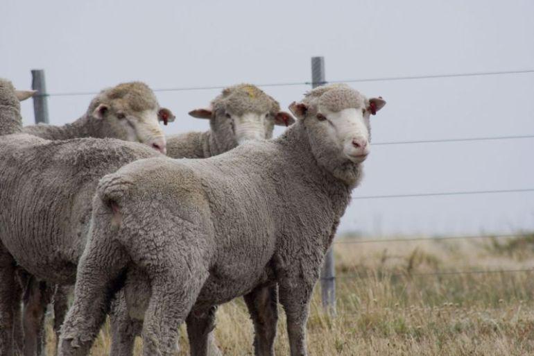 Región con más masa ovina nacional busca implementar el pastoreo regenerativo