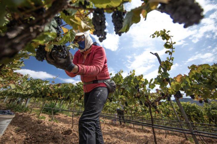 Temporada será auspiciosa particularmente para los vinos de guarda según informe de vendimia 2021 de Miguel Torres Chile