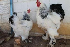 pollo-gigante5
