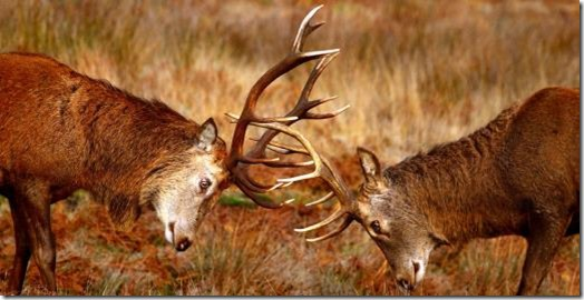 Stags fighting