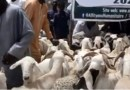 Tabaski : Les moutons (presque) intouchables