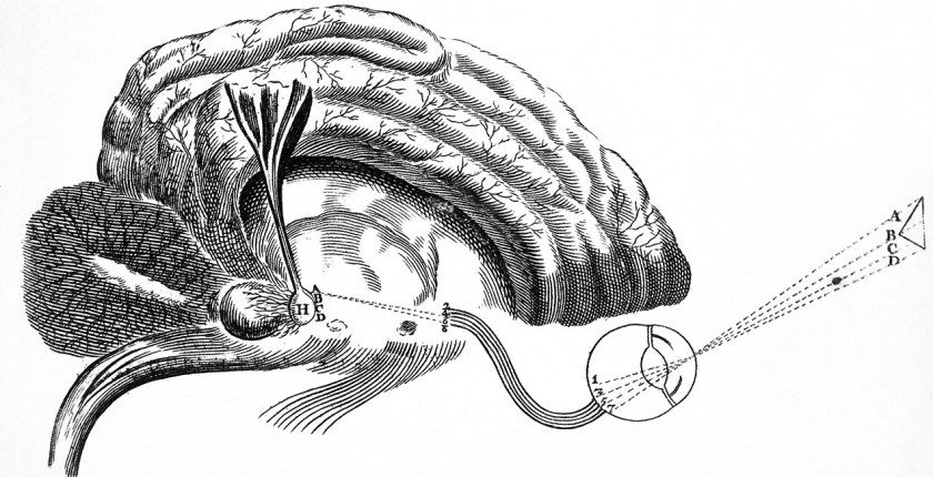 Brain and Pineal Gland. Image