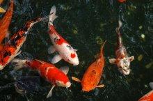 peixes vêm nos lagos novos
