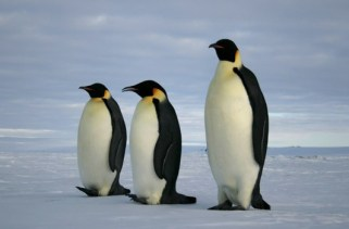 25 fatos interessantes sobre pinguins!