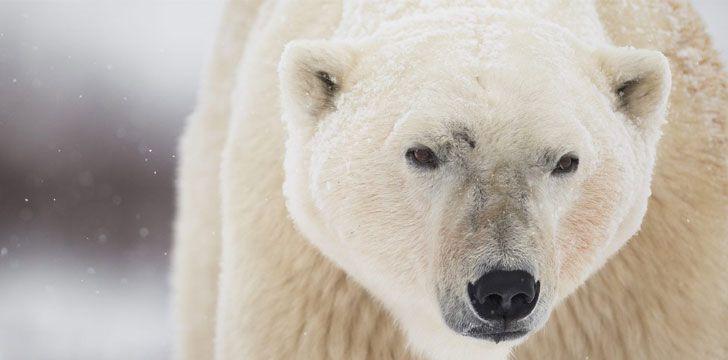 30 fatos interessantes sobre ursos polares
