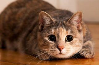 Como falar com Gato: Linguagem Corporal Do Gato Decodificada
