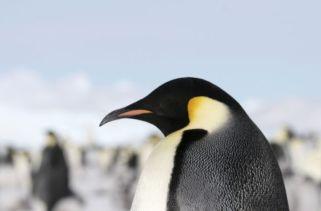 Fatos Interessantes Sobre O Extinto Pinguim Colossus