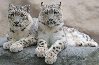 Onde os Leopardos da Neve Vivem?