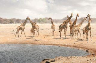 Girafas Podem Nadar?
