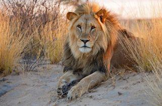 Onde Vivem Os Leões?