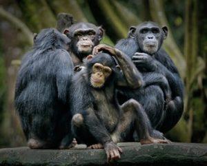 """Poderia o nosso planeta realmente se tornar """"o planeta dos macacos""""?"""