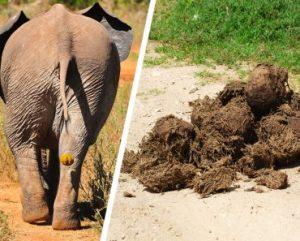 O que podemos aprender sobre os elefantes do estrume?