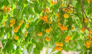 Árvores Que Levam Mais Tempo Para Frutificar