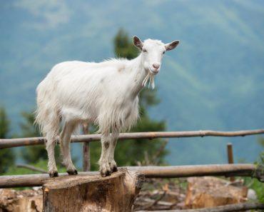 Por que as cabras desmaiam?