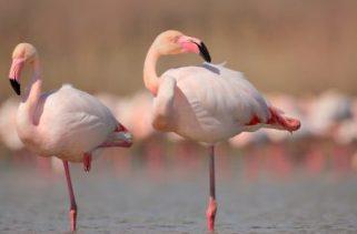 Por que os flamingos ficam em uma perna?