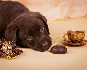 Chocolate é venenoso para cães?