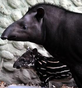 Nome Cientifico: Tapirus terrestris