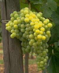 Resultado de imagen de variedad de uva palomino