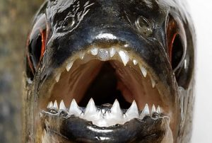 piranha5