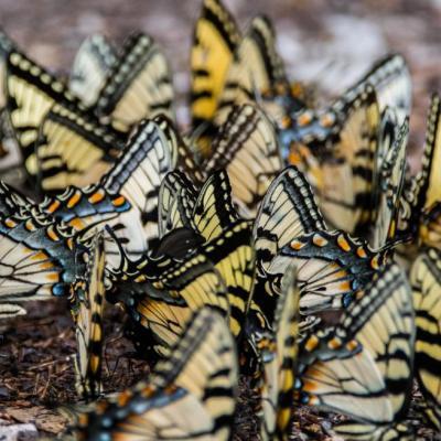 Eastern swallowtails
