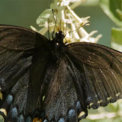 Black eastern tiger swallowtail