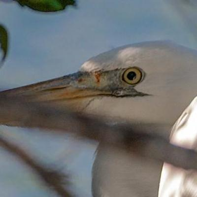 White morph of great blue heron