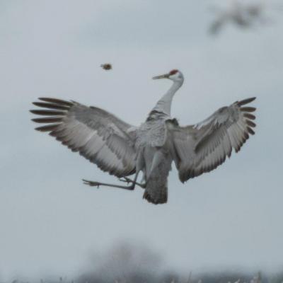 Sandhill cranes, mating ritual
