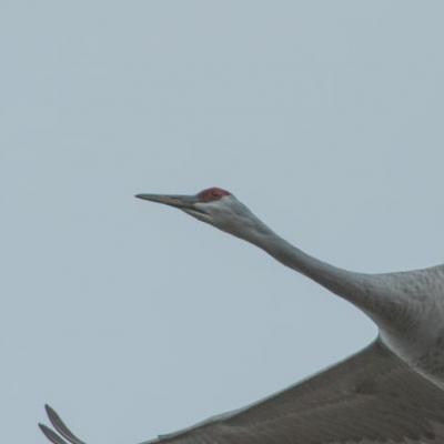 Sandhill crane, Indiana