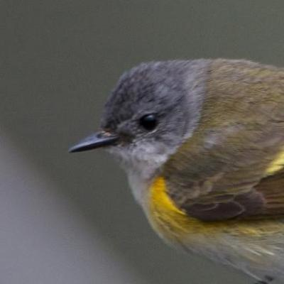 American redstart (female)
