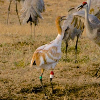 Juvenile whooping crane with Sandhill cranes, Alabama