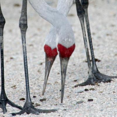 Sandhill cranes, Reifel Sanctuary