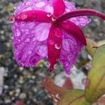 Flower, Glacier National Park, Alaska