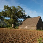 A barn for drying tobacco next to a field of new tobacco plants