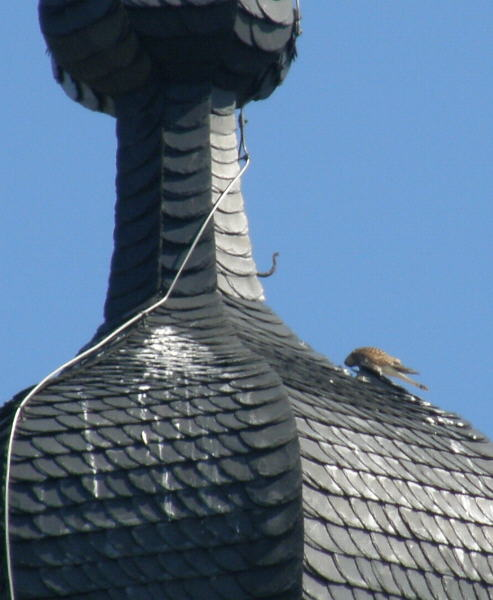 Turmfalke auf der Rheinbacher Kirche