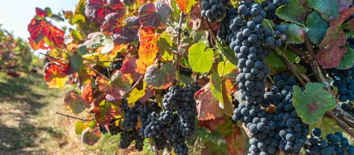 """Aus ihr wie der """"Rioja"""" gemacht: Tempranillo-Traube"""