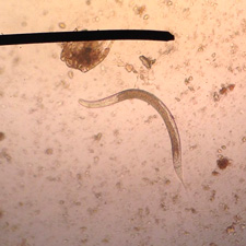 Longwormlarve bij de kat (in de ontlasting)