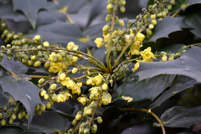 mahoniestruik in bloei