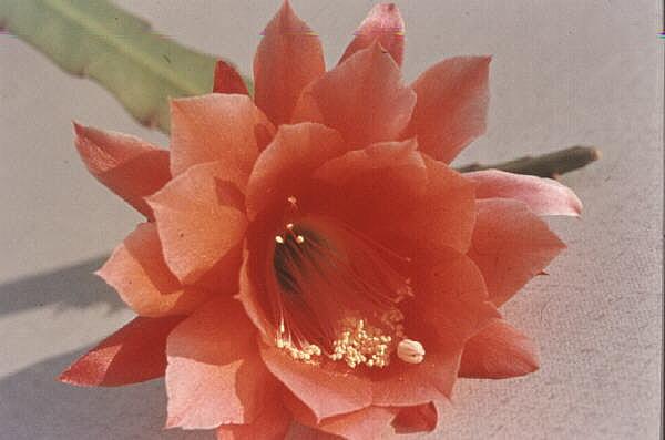 Kakteenblüte