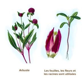 3 plantes pour la lutte contre le Cancer
