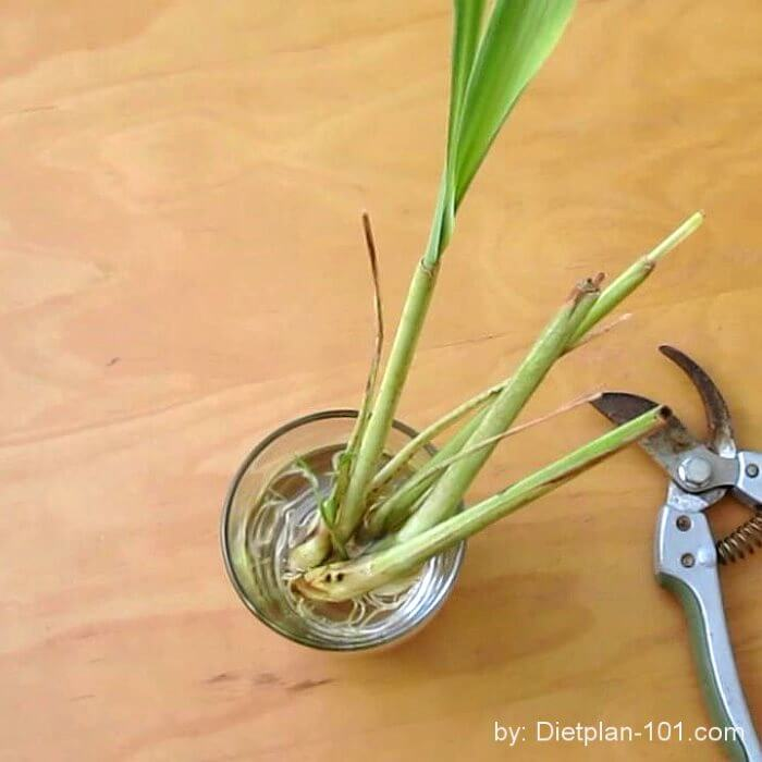 Lemongrass new leaf
