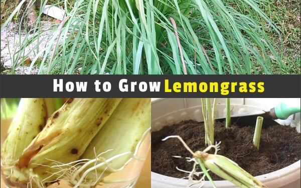 Propagating and Growing Lemongrass from Store-Bought Stalks