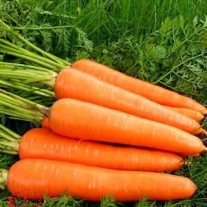 500 carrot seed plant seeds vitamin supplements crazy diet health fruit varieties