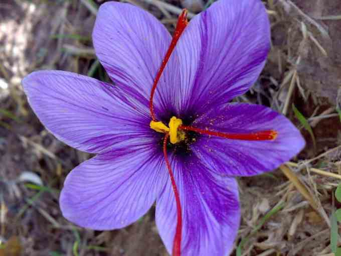 Saffron Extract – Benefits and Uses of the Crocus Sativus ...